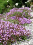 Creeping Thyme groundcover (Thymus serpyllum) 200 seeds